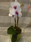 Orchid in a container